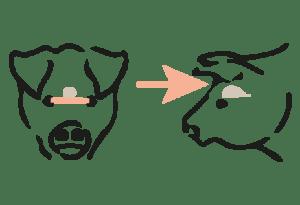 Bolzenschuss für Schweine