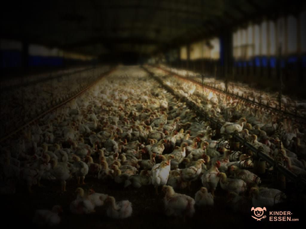 Bild zeigt Hühner in einer Massentierhaltung