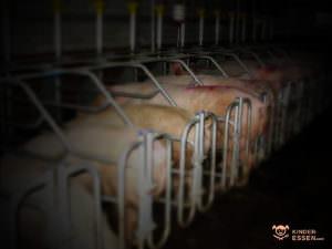 Bild zeigt Schweine in Kastenständen