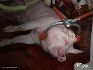 Schwein bei der Betäubung