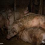 Bio-Schweine-Haltung
