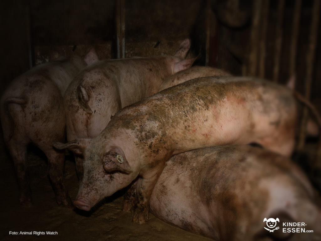 Perfekte Schweinehaltung bei Guhtfleisch