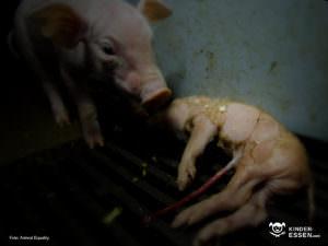 Schweinehaltung bei Guhtfleisch
